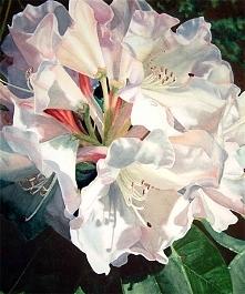 Pippa Shennan  White Rhodie Watercolour on paper 51.5x57.5cm