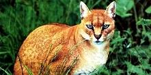 Najpiękniejsze i najrzadsze koty na kuli ziemskiej!