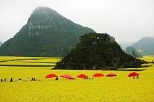 Pola rzepaku w Luoping, Chiny.