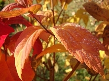 jesienna rosa