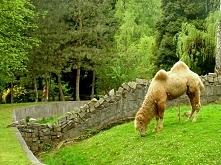 majowy wielbłąd