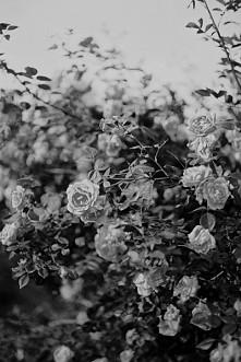 rosie ♡ moje kwiatki moje imie ♡
