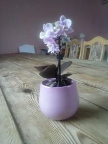 mini storczyk
