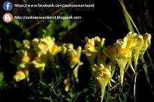 Lnica pospolita to piękna, wieloletnia roślina, którą możemy spotkać od sierp...