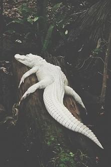 biały krokodyl <3