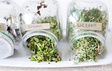 Kiełki- lucerna i jarmuż - samo zdrowie - jak hodować, które wybrać i z czym je jeść :)