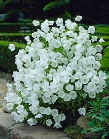 DZWONEK KARPACKI 'WHITE CLIPS' (Campanula carpatica 'White Cli...
