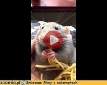 Przepiękny! Wygląda jak szczurek z bajki Ratatuj :)  Więcej na Zoomia.pl