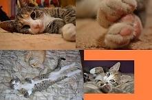 Wypieszczona wspaniała kradziejka skarpet i wszystkiego co tylko leży na podłodze Frania :) Kocham tą kotkę, jest takim ogromnym pieszczochem.