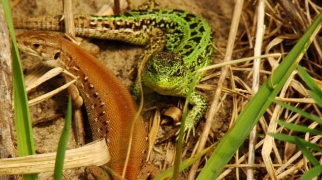Włodawa 2011- śliczne jaszczurki na polance. Fotografia z kategorii natura, zwierzęta.