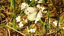 Włodawa 2011- motylek na po...
