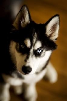 husky .