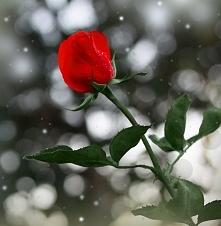 """Jezus sprawił,że róża zakwitła w środku zimy dla świętej Rity. """"Jeśli ufasz Panu , wszystko jest możliwe"""" - św. Rita, patronka spraw beznadziejnych"""