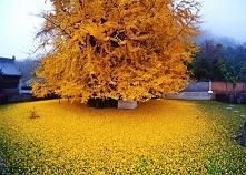 1400-letnie drzewo przepięk...