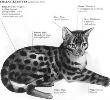 Budowš Egipski Mau Nie Przypomina Ogólnego Wzorca Kotów Orienta Na