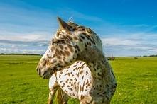Koń rasy Appaloosa Wszyscy jesteśmy zaznajomieni z majestatem koni pociągowyc...
