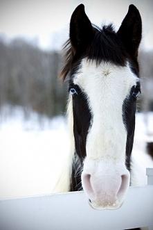 Koń Pinto – właściwie nie są rasą, a końmi o namaszczeniu srokowatym.