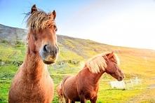 Konie Islandzkie