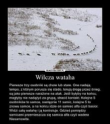 Wilcza wataha