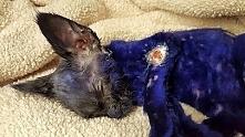 Ten fioletowy kotek był żywym gryzakiem dla agresywnych psów! WIĘCEJ PO KLIKN...