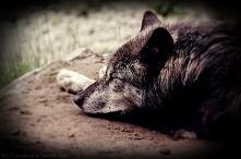 Śpiący wilk :3