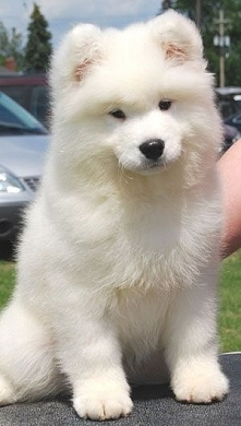 Samoyed Puppy...how soft and fluffy white. Had one of these dogs growing up a...