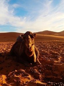 Wielbłąd na Saharze