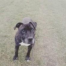 Udostępnij Tysona ;) proszę! Tyson to około 10 letni prawie amstaff :) Uwielbia spacery i smakołyki prawie idealnie umie siad (siada jak usłyszy szelest siatki) :) Nie przepada ...