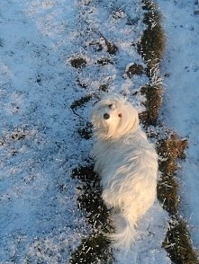 Mój mały, biały pies.
