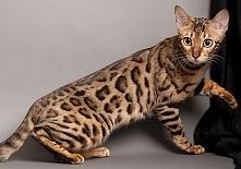 Kot bengalski to dość młoda rasa powstała poprzez skrzyżowanie genów leoparda...