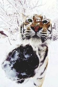 #tygrys #tiger #zima #winter #lapa #greeneyes #drzewa #cute #slodziak
