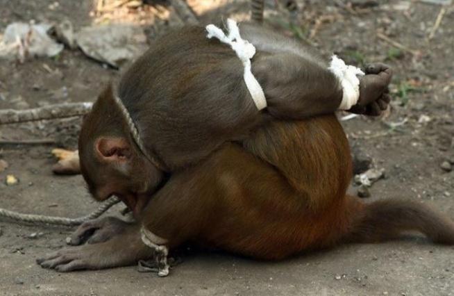 W Indiach aresztowano małpę! Gdy poznałam powód, dla którego to zrobiono, nie mogłam uwierzyć w to, co czytam! WIĘCEJ PO KLIKNIĘCIU W OBRAZEK.
