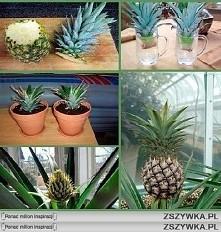 Jak sadzić ananasa :)