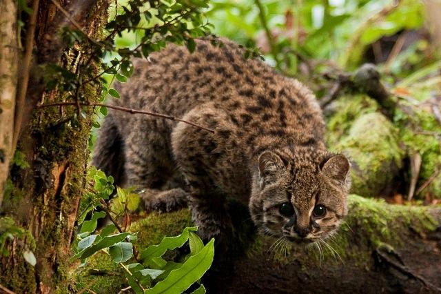 Kodkod Kot Górski Ocelot Chilijski żyje Na Terenach Chile I Na