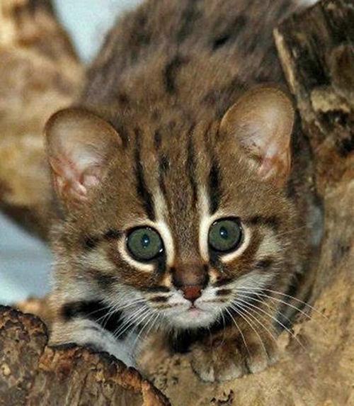 Kotek Rudy Kot Rdzawy Gatunek Ten Występuje W Indiach I Na S Na