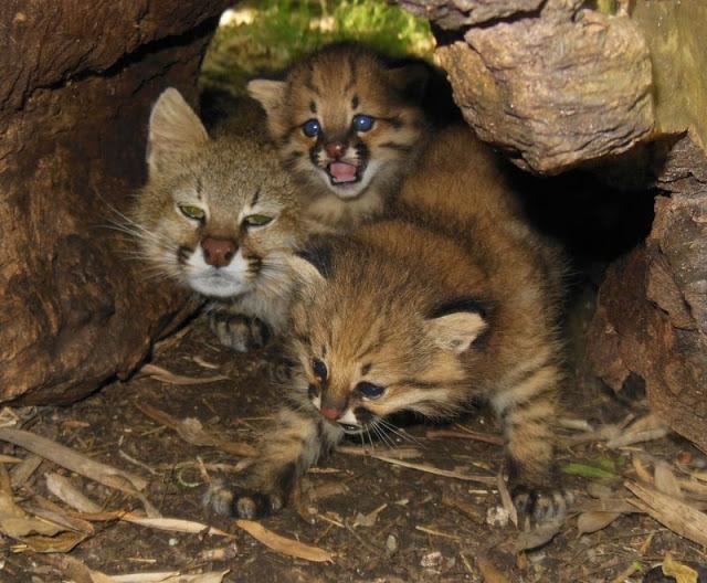 Ocelot Pampasowy Kot Pampasowy Oceloty Pampasowe Mają Krępą Na