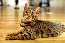 Kot bengalski – jest hybrydą, na szczęście w porównaniu do bengalskiego tygry...