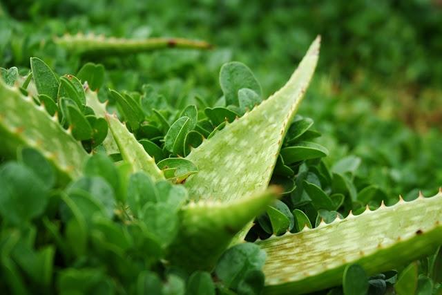 Aloes to roślina lecznicza znana już i stosowana w medycynie starożytnych Egipcjan. Dziś aloes nie jest tak mało popularny jak to było jeszcze nie dawno, częściej się słyszy o tej roślinie, częściej widuje się soki z aloesu na półkach sklepowych, a żele, maści i inne medykamenty z aloesu w aptece były zapewne od dawien dawna już dostępne.   O co chodzi z niezwykłym działaniem żelu aloesowego? Otóż zapewnia mega odporność organizmu, jego prawidłowe funkcjonowanie, trawienie, wspomaga nerki, nie tylko poprawia urodę, ale też pozwala żeby trwała bardzo długo bez oznak starzenia, podobnie ze zgrabną, wysportowaną sylwetką. Czy to mało? Spokojnie, aloes ma więcej w zanadrzu ;)