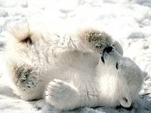 27 lutego - Dzień Niedźwiedzia Polarnego
