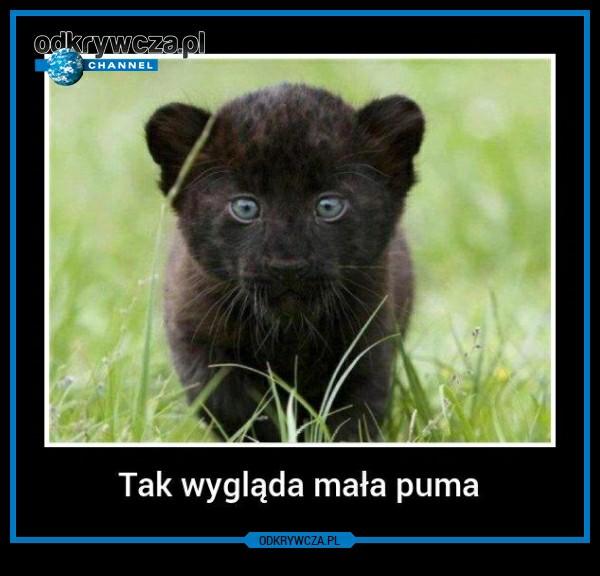 Mała Puma Na Zwierzęta Zszywkapl