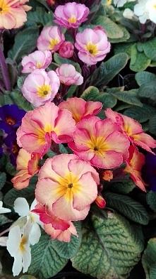 Prymula ogrodowa, wytrzymała i wieloletnia. Przepiękne herbaciane odcienie kwiatów.