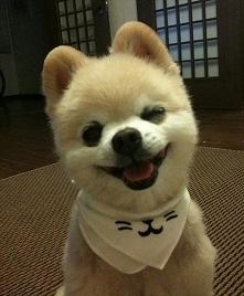 Pomeranian puszcza oczko ;)