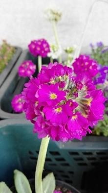 Pierwiosnek kupkowaty - piekna wiosenna bylina