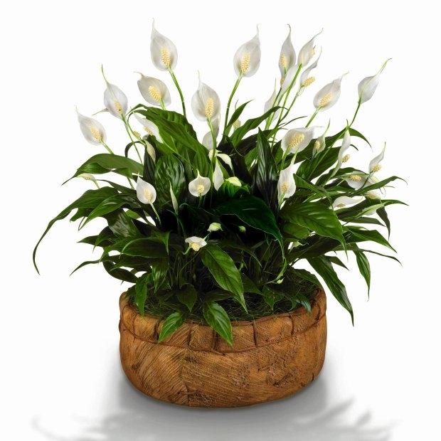 Skrzydłokwiaty zależnie od odmiany dorastają do 30-80 cm. Dobrze się czują w lekko zacienionych miejscach, w temperaturze pokojowej. Latem podlewamy je dosyć obficie, zimą oszczędnie, zawsze letnią wodą.