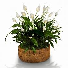Skrzydłokwiaty zależnie od odmiany dorastają do 30-80 cm. Dobrze się czują w lekko zacienionych miejscach, w temperaturze pokojowej. Latem podlewamy je dosyć obficie, zimą oszcz...