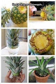 hodowla ananasa