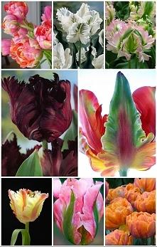 uwielbiam tulibany