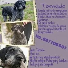 Tornado pies w typie wyżła niemieckiego szuka domu!