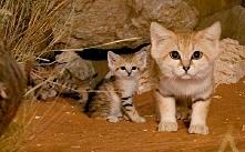 Kot pustynny (Felis margarita)