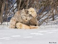 Ryś kanadyjski (Lynx canade...